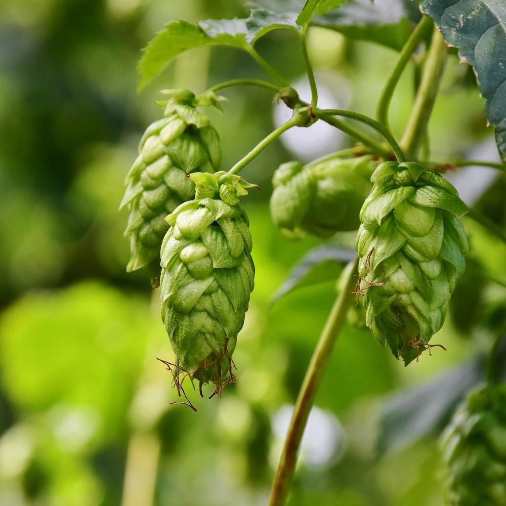 Houblon, ingrédient essentiel de la bière